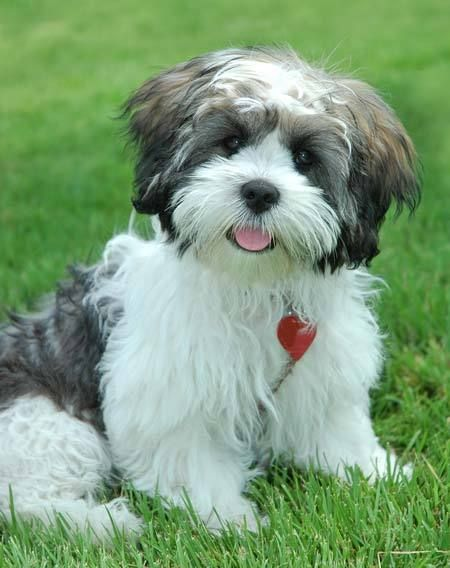 Lhasa Apso puppy - A hypo-allergenic breed. I would love to have one in my family!