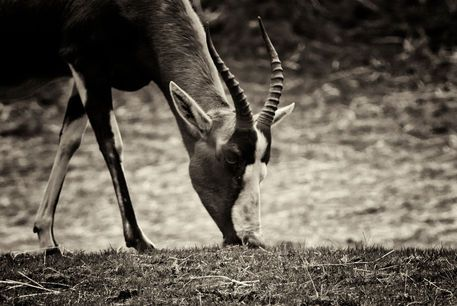 'Blesbuck (Damaliscus pygargus phillipsi)' by studio-toffa on artflakes.com as poster or art print $18.03