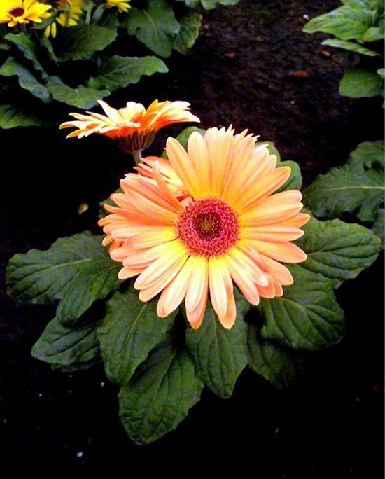 Como cuidar de Gerberas. As Gerberas são plantas floríferas nativas da Africa do Sul e o termo Gerbera, define cerca de 30 subespécies do gênero que varia de acordo com o seu tamanho, tempo de floração ou cor da floração. São...