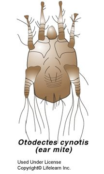 The ear mite Otodectes cynotis is a surface mite that lives on cats, dogs, rabbits and ferrets. It is usually found in the ear canal but it can also live on the skin surface. The entire ear mite life cycle takes place on animals