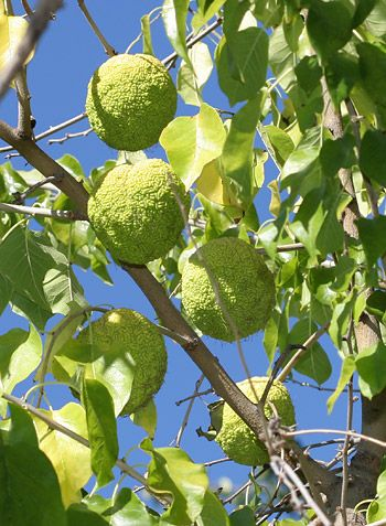"""""""Maclura pomifera"""" There are some of these trees where I live in the Azores, in the island of Saint George."""
