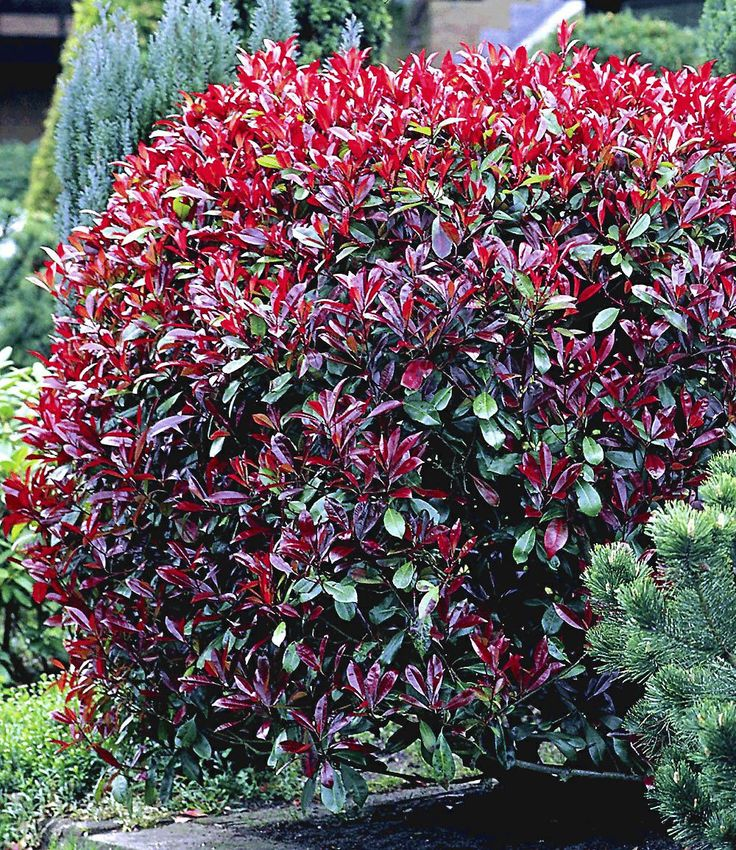 "Photinia-Hecke ""Red Robin"",1 Pflanze"