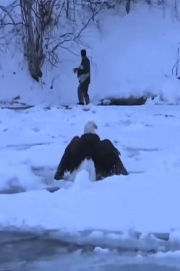 Iced Eagle Rescue On Lake Michigan Video Pet Birds Nature Animals Touching Animal Stories