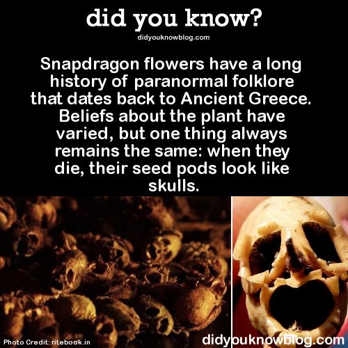 Snapdragon flowers have a long history of paranormal folklore that dates back to Ancient Greece. Beliefs about the plant have varied, but one thing always remains the same: when they die, their seed pods look like skulls.  Source