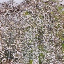 Prunus Snofozam SNOW FOUNTAINS Weeping Japanese Cherry Tree