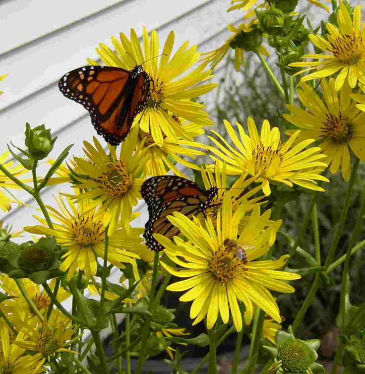 71 Best Images About Silphium On Pinterest Sun The Cup 400 x 300