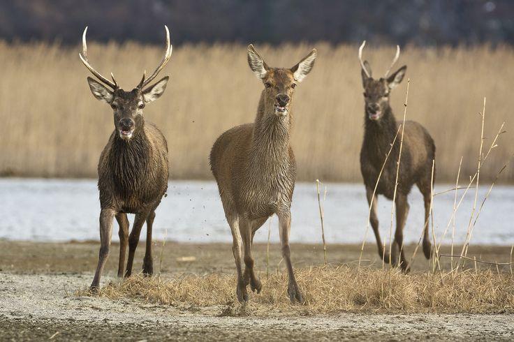 Pursuit of deer - Pursuit of deer