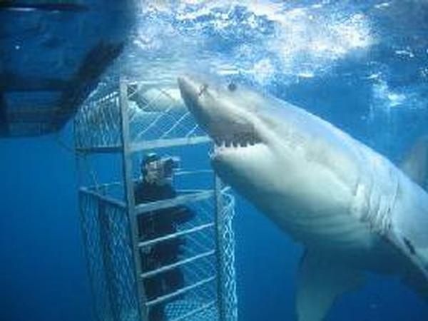 Shark Cage Diving, Port Lincoln - SA