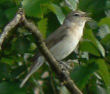 Garden warbler - Wikipedia