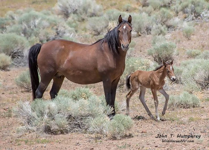 American Wild Horse Preservation Campaign. Americans uniting to keep the Bureau of Land Management from destroying them for the profit interests of Nevada ranchers. http://wildhorsepreservation.org/