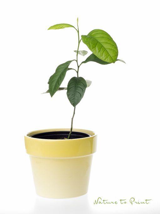 die besten 25 avocado z chten ideen auf pinterest advocado pflanze avocado baum und avocado. Black Bedroom Furniture Sets. Home Design Ideas