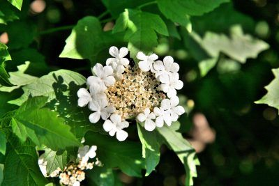 Guelder Rose Viburnums – How To Care For Guelder Rose Plants Guelder rose viburnums (Viburnum opulus) are deciduous shrubs or trees suited to smaller landscape settings. Learn more guelder rose information, like tips on guelder rose growing and how to care for a guelder rose viburnum in this article.