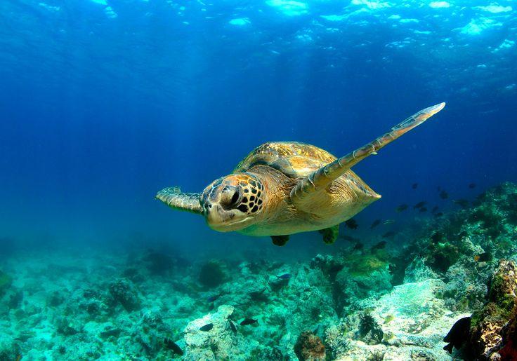 Hvis du dykker eller snorkler i Ecuador, kan du også møde herlige havskildpadder.