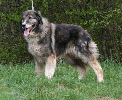 Carpathian Sheepdog | dogs I like | Pinterest
