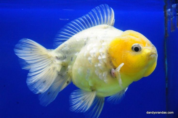 17 best images about yellow goldfish on pinterest dragon for Koi spawning pool