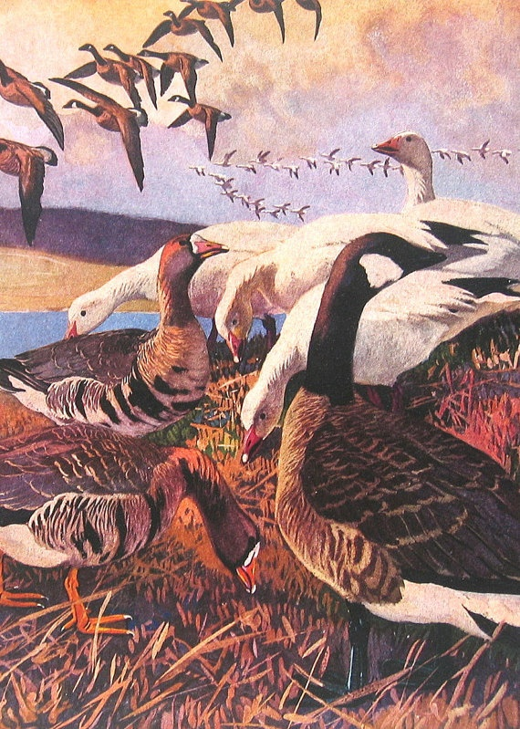 1917 Lynn Bogue Hunt Illustration White Fronted Goose, Greater Snow Goose, Canada Goose American Gamebirds Book Plate