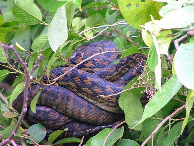 Amethystine Python