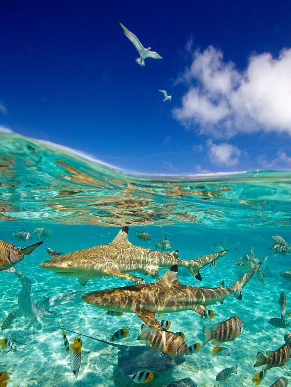 Under the sea, Bora Bora. These sharks don't look scary, they look pretty, pretty awesome!