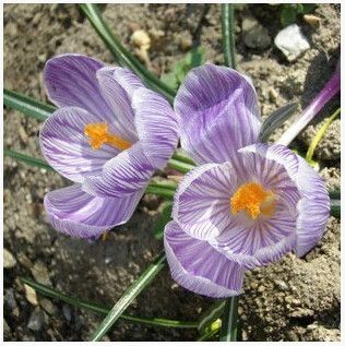 Saffron Flower Seeds, Saffron Crocus Seeds, 20 Seeds Multiple Colors to choose