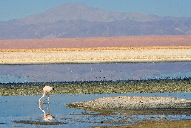 flamingos - Los Flamencos National Chile