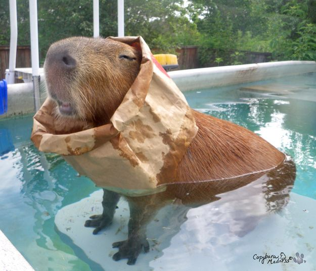 """33 Reasons to Want a Capybara    """"Don't be surprised when you find your capybara with a paper bag in the pool. They can be a little weird sometimes...but you know, like a good kind of weird."""""""