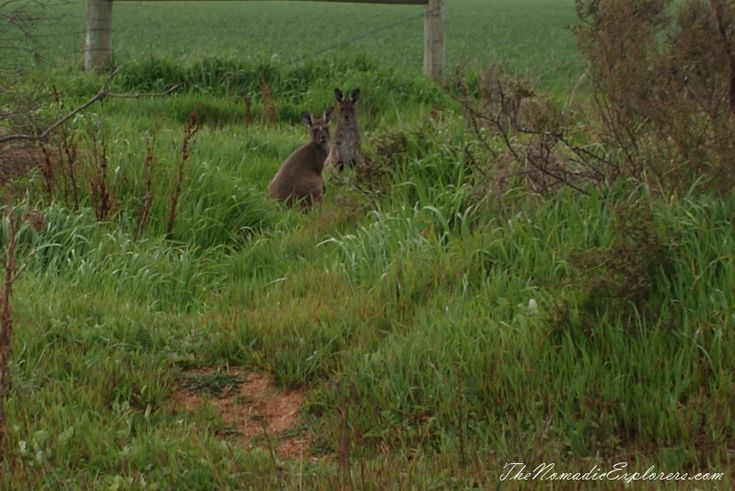 Kangaroos in Fitzgerald River National Park | TheNomadicExplorers.com