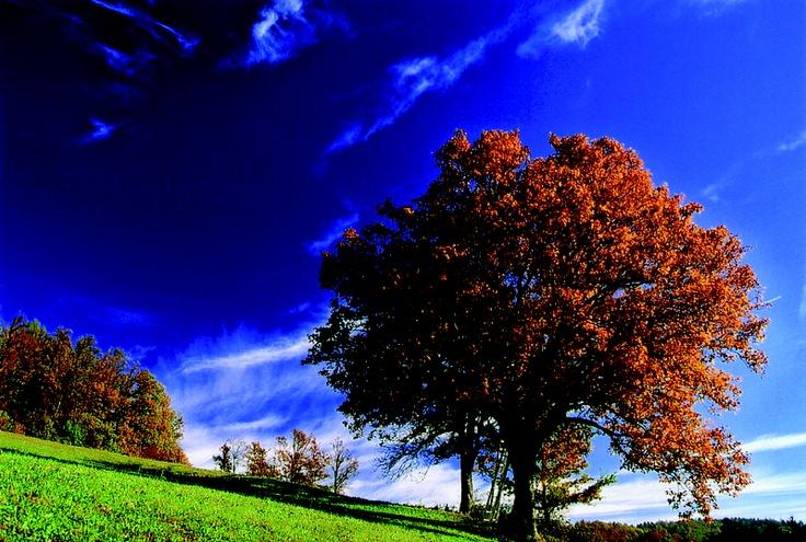 L'albero del #sorbo #ciavardello si trova in tutta Europa, ma solo nella foresta di #Vienna, e più precisamente nella zona detta #Elsebeerreich esiste la #tradizione di consumare i suoi frutti: freschi, essiccati o trasformati in distillati. La raccolta si svolge in ottobre ed è un'operazione complessa perché gli alberi raggiungono 15-20 metri di altezza. Il #frutto è una bacca piccola, ovale, di colore rosso scuro e ha un particolare sapore di #amaretto. #SlowFood #presidi #Austria