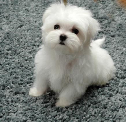 Pleasant 1000 Ideas About Maltese Poodle On Pinterest Dogs For Adoption Short Hairstyles For Black Women Fulllsitofus
