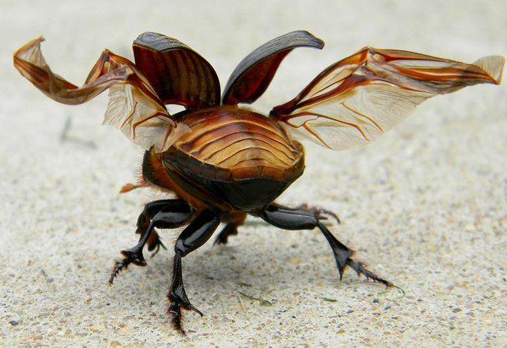 Lucanus cervus - flight; inspired; beetles° - ID; - Adrian Mendoza - author of The Kaleidoscope : The Gift of Madness