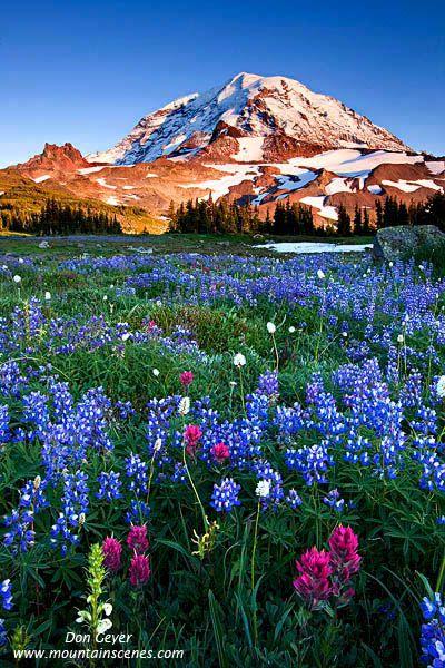 Mount Rainier above flower meadows in Spray Park, Mount Rainier National Park, Washington. Would love to go here too...