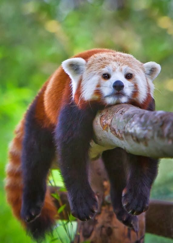 Red Panda Cub...just hanging out