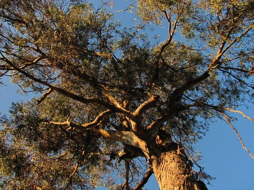 Eucalyptus Globulus ~ ♥