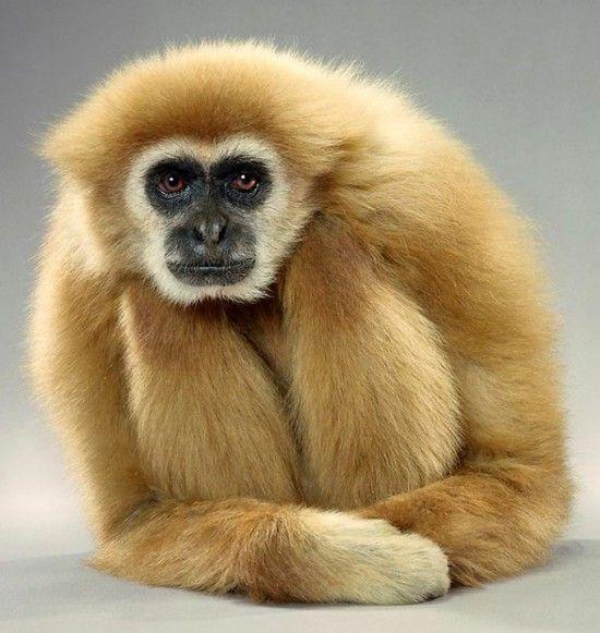 monkey portrait - jill greenberg (12)