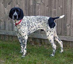 El Braco de Auvernia es una raza de perro originaria del área montañosa del departamento de Cantal, en la región histórica de Auvergne, Francia.    Se trata de un perro de caza versátil de tipo perdiguero que desciende de antiguos tipos de perros cazadores de esa región