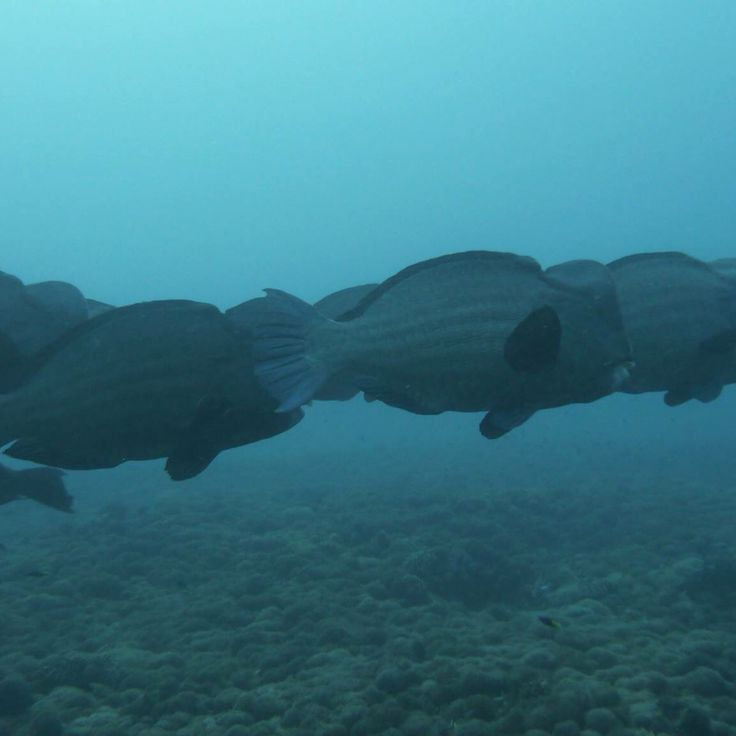 Bumpheads around the Gili Islands! You can spot them in the weeks around full moon. Come and join us for a dive!