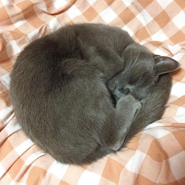 #あんちゃん#スコティッシュフォールド#まん丸#眠り猫#アンモニャイト#真ん丸#猫#溺愛#愛猫#ねこ部#ぬこ#cat#instacat#catgram#mysweet#gatto#gato#chat#Katze#고양이#scottishfold#sleepingcat#roundcat#ammonite