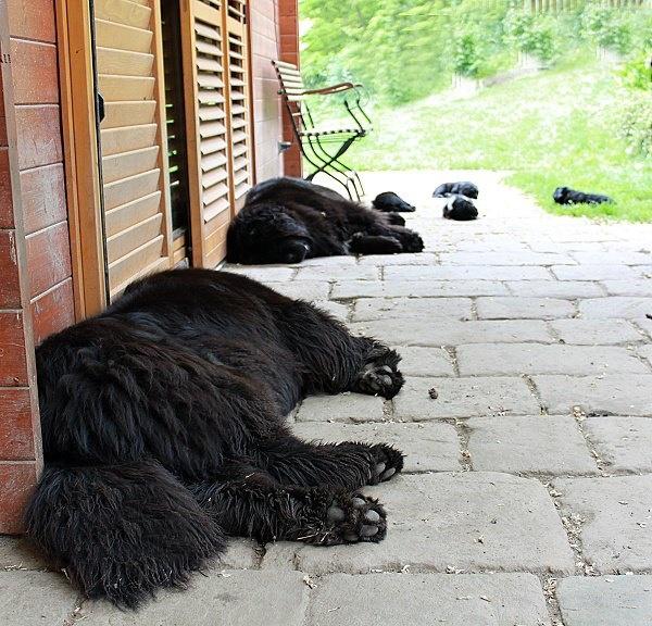 Newfoundland Dogs As Pets