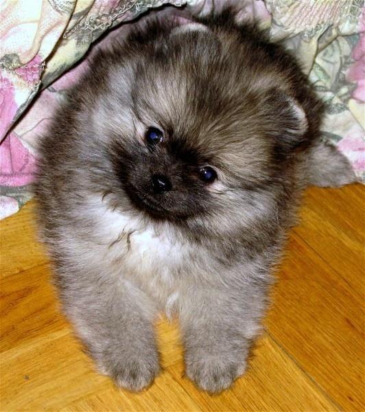 cute pom puppy :)