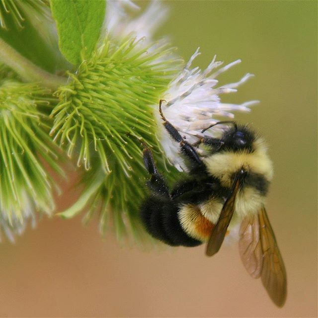 """Today, the rusty patched bumble bee was added to the federal Endangered Species List. 🐝🐝🐝The rusty patched bumble bee is the first native bee to be protected under the law in the continental United States. """"Today's Endangered Species listing is the best—and probably last—hope for the recovery of the rusty patched bumble bee,"""" said NRDC Senior Attorney Rebecca Riley. ____ #wildlife #pollinators #bees #endangered #native (Photo by Dan Mullen, Creative Commons)"""