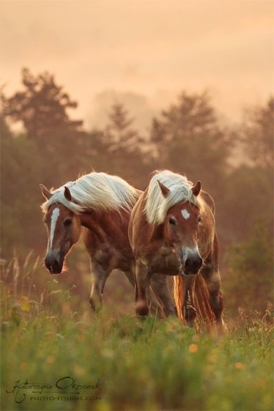 Haflingers. Reminds me of the two I had