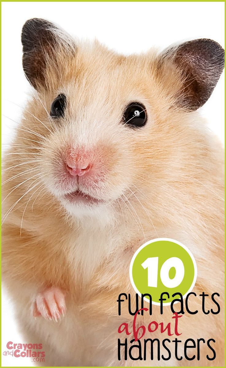 best 25+ hamster care ideas that you will like on pinterest