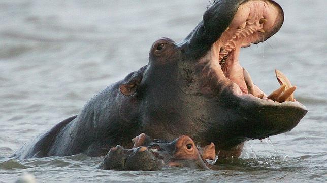 Los hipopótamos son animales herbívoros, es decir, se alimentan sólo de plantas. Son animales tan lentos que les sería difícil atrapar a otros animales.