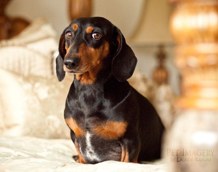 Miniature Daschund! New Pet Photography: Oscar Mayer ...