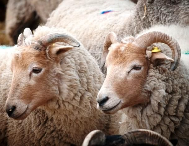 Portland: A relatively small heathland breed from the Dorset area. The rams have heavily spiralled horns and the ewes a half circle horn. Lambs are born with a foxy red coat which changes in the first few months to creamy white. They produce an exceptionally high quality meat and can lamb at any time of the year.