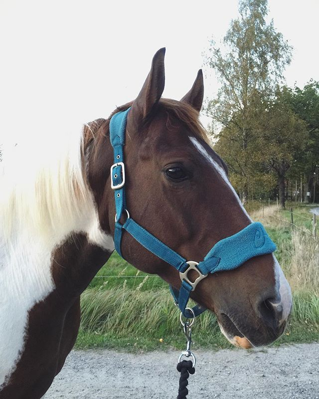 Cute horse in our halter from Claridge House. #HookedOnHööks I www.hookseurope.com I paddans