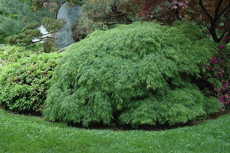 Cutleaf Japanese Maple (Acer palmatum 'Dissectum Viridis') at Thies Farm & Greenhouses