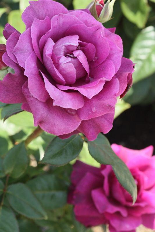 ~Floribunda Rose: Rosa 'Intrigue' (U.S., 1982)