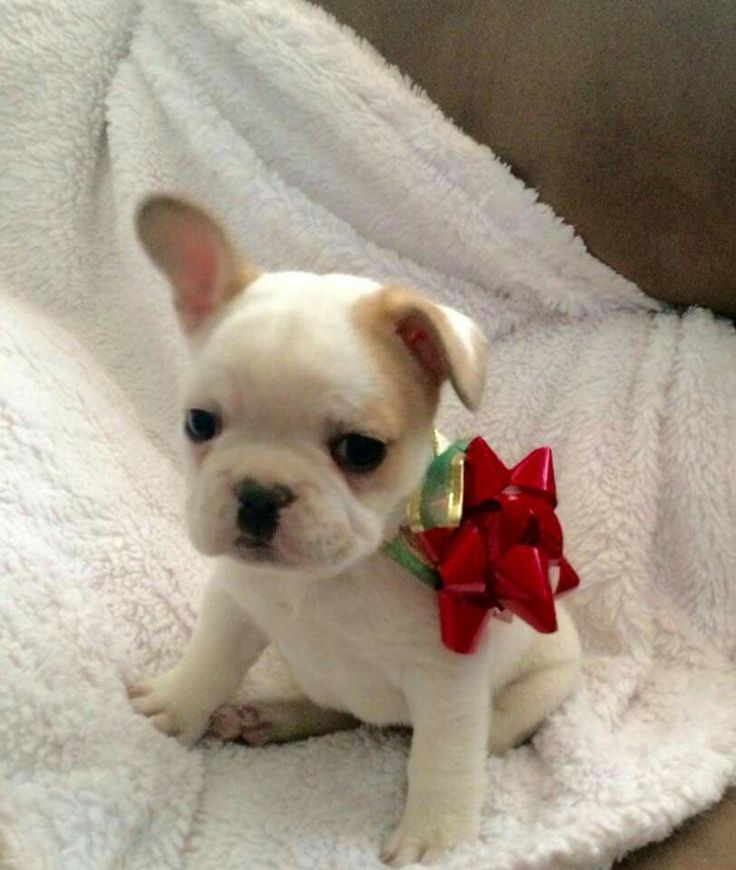 A French Bulldog Puppy for Christmas, yes please.