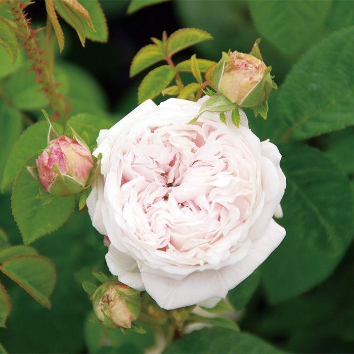 211 best roses images on pinterest garden roses flowers and antique roses - Rose cultivars garden ...