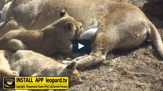 Watch the video of our male lion cub, Simba, growing up! #leopardtv #shayamanzi #wildlife